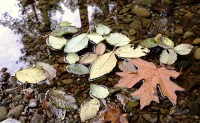Fallen Leaves in JDSF/Mendo Woodlands photo gallery
