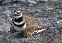 Hypochondriac Killdeer in Central Mendocino Coast photo gallery