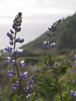 Lost Coast Lupine in wildflowers photo gallery