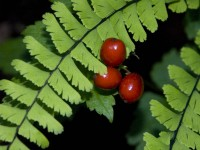 Maidenhair Berries in Russian Gulch to Fort Bragg photo gallery