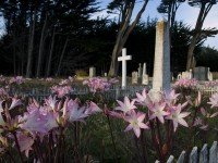 Naked Ladies in the Graveyard in garden photo gallery