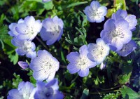 Nemophila menziesii in wildflowers photo gallery
