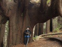 Octopus Tree in Lost Coast photo gallery