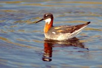 Red Necked Phalarope in wildlife photo gallery