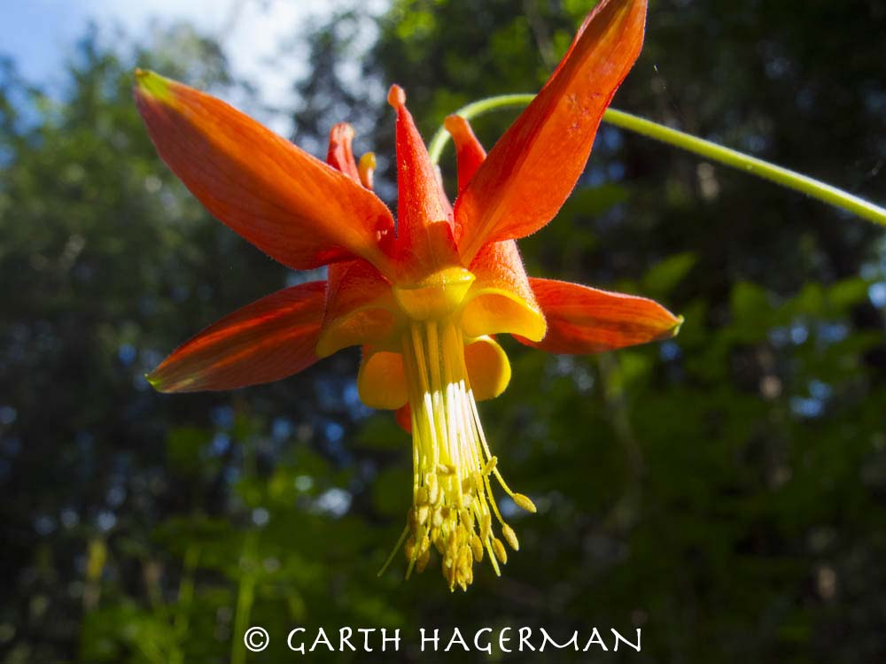 Columbine in JDSF/Mendo Woodlands photo gallery