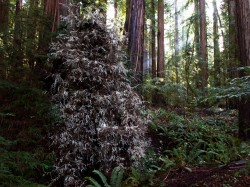 Albino Redwood in Humboldt Redwoods photo gallery