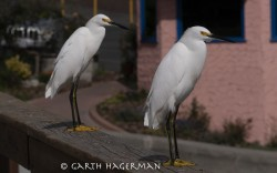 Capitola Egrets in wildlife photo gallery