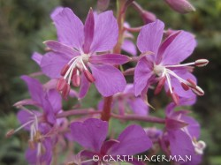 Fireweed in close-up photo gallery
