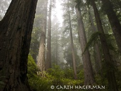 Giants in Fog in Redwood National and State Parks photo gallery