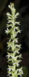 Rein Orchid in rare plants photo gallery