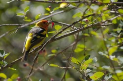 Western Tanager in wildlife photo gallery