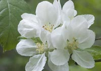 Apple Blossoms in Mendocino photo gallery