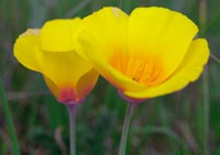 Coastal Poppy in wildflowers photo gallery
