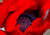 Red Poppy in garden photo gallery