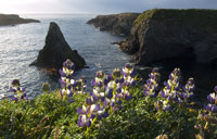 Headlands Lupine in Mendocino photo gallery
