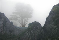 Cypress in Fog in fog photo gallery