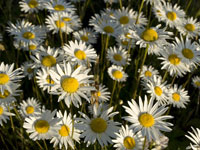 Daisies in wildflowers photo gallery
